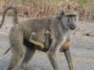 MOTHER BABOON CARYING HER BABY AT THE ROADSIDE