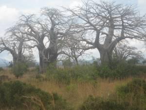 THE BAOBAB TREES
